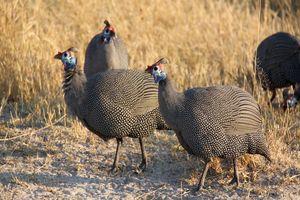 Parelhoen in Moremi - Moremi GR - Botswana