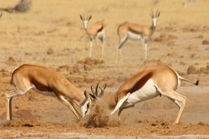 Gevecht tussen springbokken - Botswana
