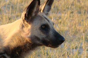 Hoofd van hyena - Botswana