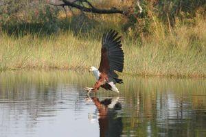 fish eagle Okavango Delta - Pom Pom Camp - Botswana