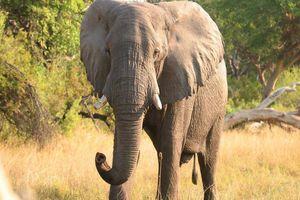 olifant Okavango Delta - Pom Pom Camp - Botswana