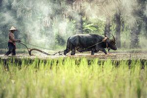 boer met buffel - Cambodja