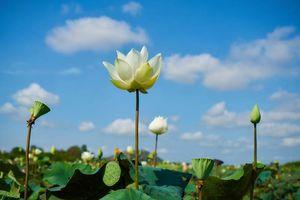 lotusbloemen met blauw lucht in Cambodja - Cambodja