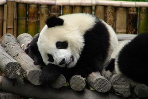 panda - wolong - China