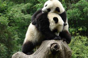 2 panda's - wolong - China