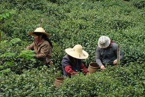 theeplantage china