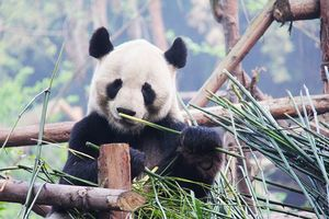 panda in Chengdu - Chengdu - China