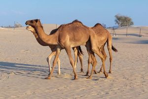 Kamelen - Dubai