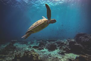 Duiken - zeeschildpad - Sipadan - Borneo - Maleisië