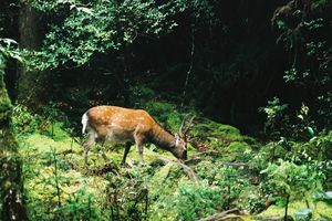 hert - Yakushima - Japan - foto: flickr