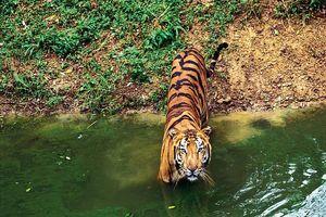tijger in water - India