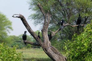 zwarte vogels in Bharatpur - Bharatpur - India