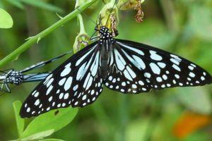 Vlinder in Mararikulam - Mararikulam - India