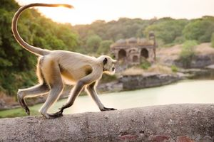 Witte aap, Ranthambore Fort - India