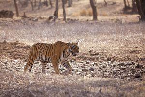 Indische Tijger - India