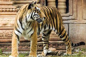 Indische Tijger met tempel - India