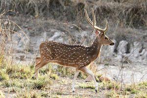 Hert in het Bandhavgarh National Park (1) - Bandhavgarh NP - India