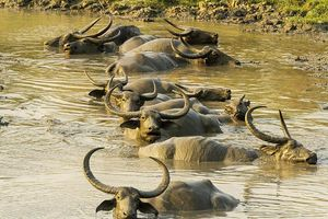 waterbuffel in het Kaziranga National Park - Kaziranga NP - India