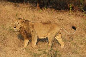 Leeuw in het Sasan Gir National Park - Sasan Gir NP - India