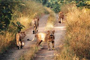 leeuwen in het Sasan Gir National Park - Sasan Gir NP - India
