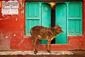 Koe bij de deur - India
