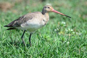 vogel in wetlands Orissa - Orissa - India