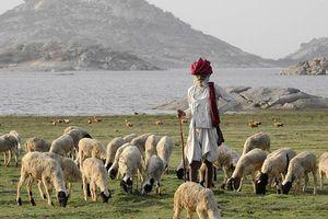 schapenherder op platteland bij Bera Jawai - Bera - India