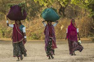 Rajasthan dames met oogst - Bera - India
