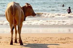 staande koe op het strand van Goa - Goa - India