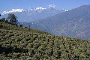 theevelden en besneeuwde bergtoppen - Sikkim - India