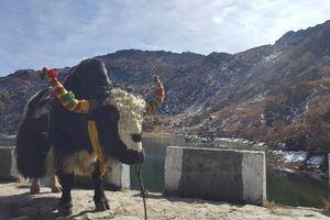 yak bij Tsomgo lake - Sikkim - India - foto: Mieke Arendsen