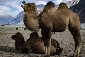 Bactrische kamelen in de Nubravallei - Nubravallei - India