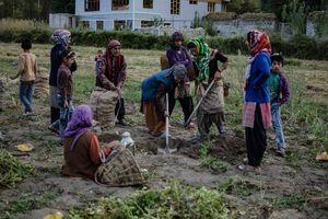 landarbeiders in Ladakh - Ladakh - India