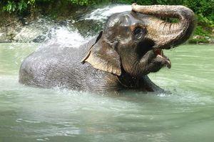 olifant in het water - Tangkahan - Indonesië