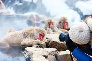 Snow Monkeys Japanse Macaques baderend in onsen hot springs Nagano