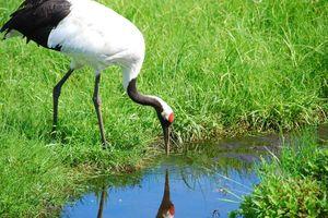 kraanvogel in Kushiro marshland - Kushiro - Japan