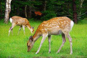 hert in het Shiretoko National Park - Shiretoko National Park - Japan
