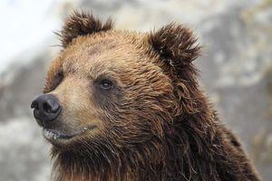 japan hokkaido brown bear wildlife - hokkaido - Japan