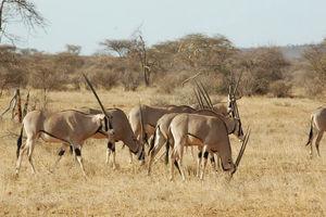 kudde Oryx