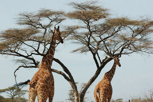 giraffe bij acacia - Samburu - Kenia