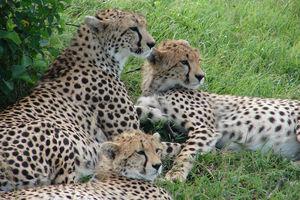 cheeta's - Kenia