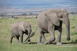 Olifanten - Amboseli - Kenia