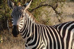 zebra - Tsavo East - Kenia