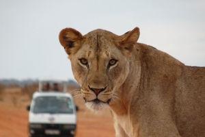 leeuw met safariauto - Tsavo East National Park - Kenia