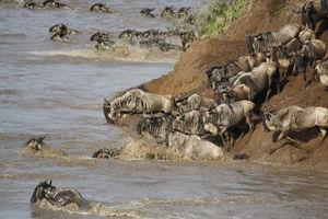 gnoe river crossing - masai mara - Kenia