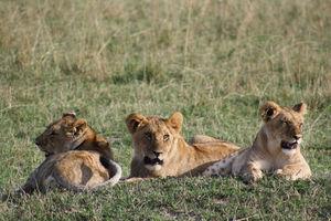 leeuwen - masai mara - Kenia