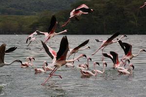 flamingo's - lake naivasha - Kenia