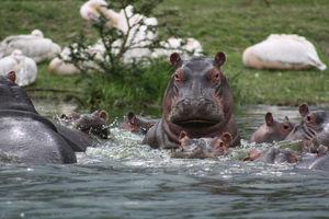nijlpaarden