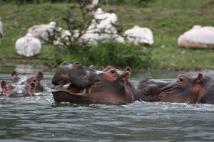 nijlpaarden - lake naivasha - Kenia