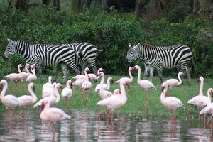 zebra en flamingo's